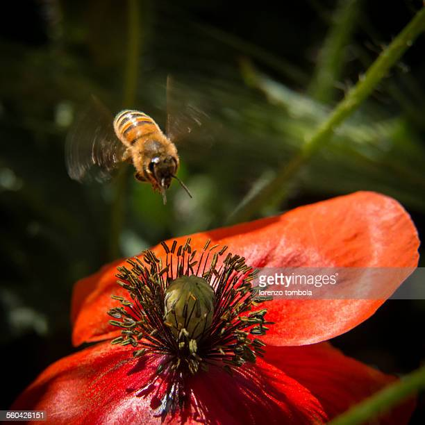 Honey Bee hovering on a poppy