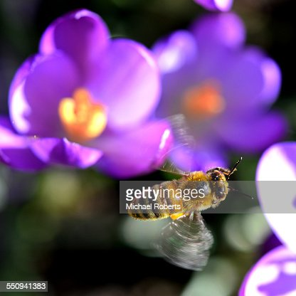 Honey bee in flight over crocus