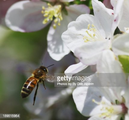 Honey Bee in Flight : Stock Photo