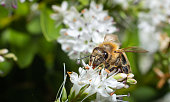 close up of a wild bee gathering nectar from white flowers