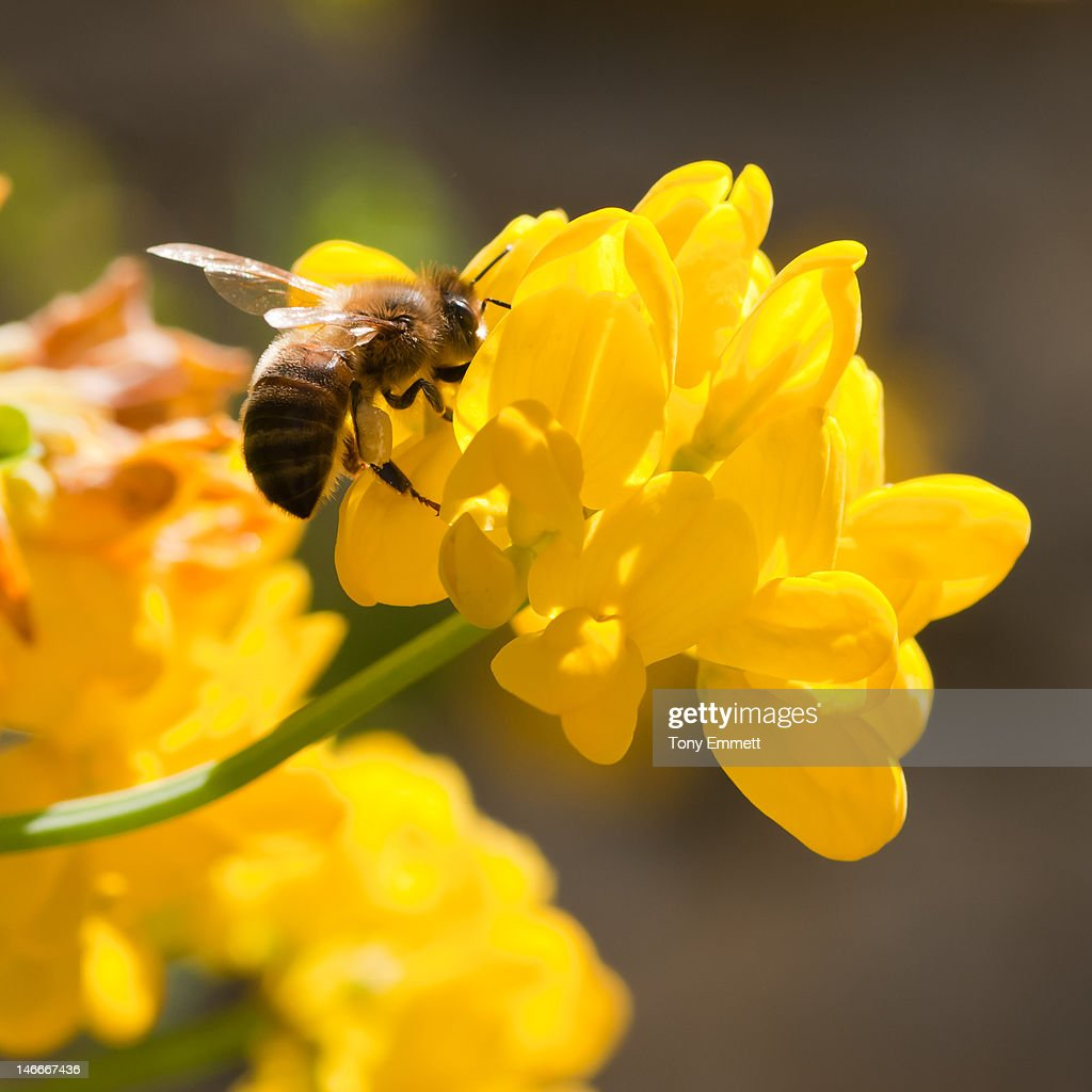 Honey bee on broom flowers : Stock Photo