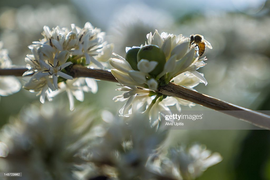 Honey bee on coffee flowers, Kona, Hawaii : Stock Photo