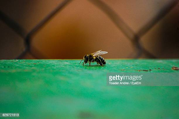 Honey Bee On Green Table