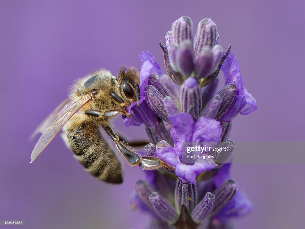 Honey bee on lavender : Stock Photo