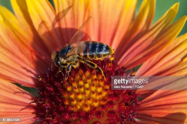 Honey bee on red flower