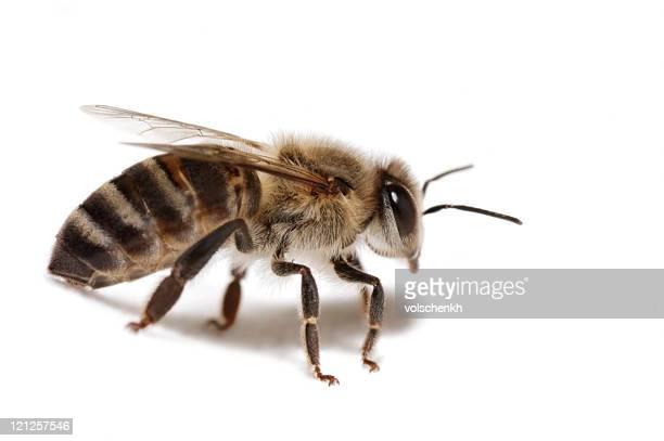 Honey bee on white