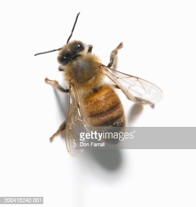 Honey bee, overhead view