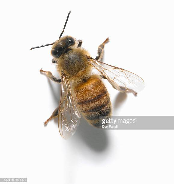 Honey bee, overhead view