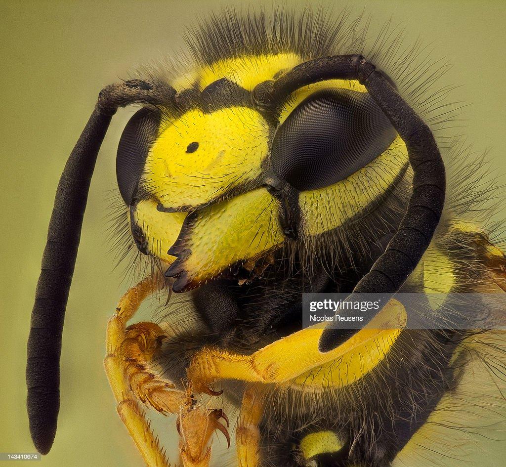 Honey bee : Stock Photo
