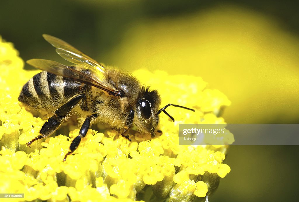 honey bee : Stock Photo