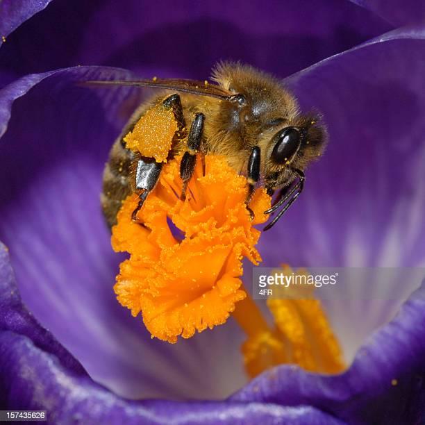 Miel abeille pollinating un Crocus Violet sauvage