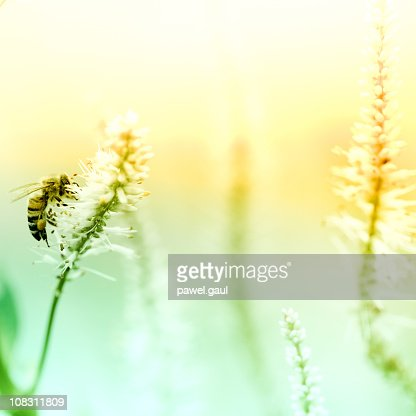 Honey Bee pollinating plant in meadow : Stock Photo