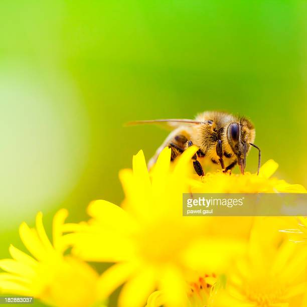 Honey Bee pollinating 植物の草地