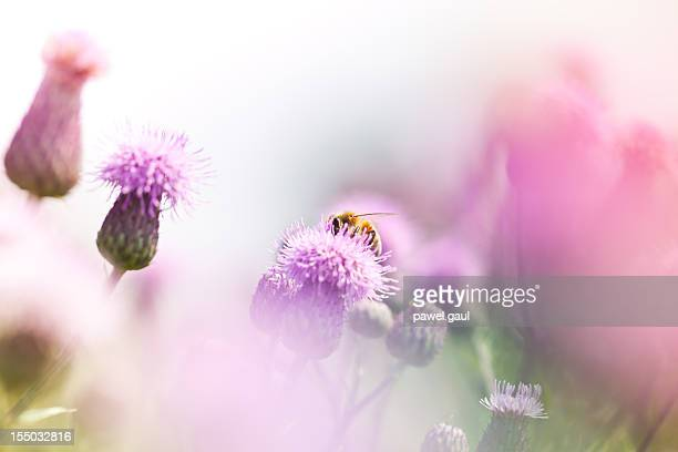 Honey bee pollinating thistle in meadow