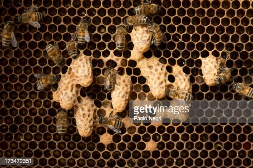 Honey Bee Queen Cells On A Honey Comb Stock Photo | Getty ...