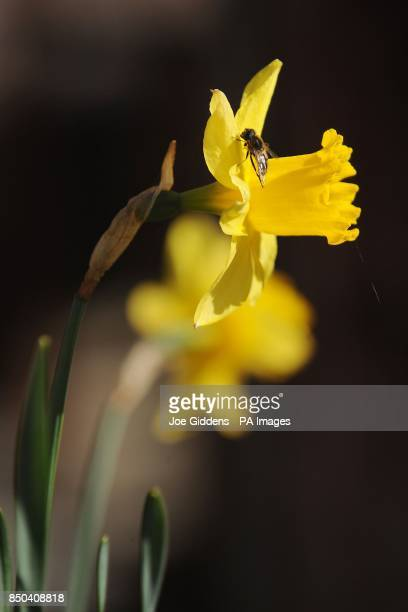 A honey bee sits on a daffodill as people in Bretforton celebrate the launch of British asparagus season A host of asparagus fans gather today St...