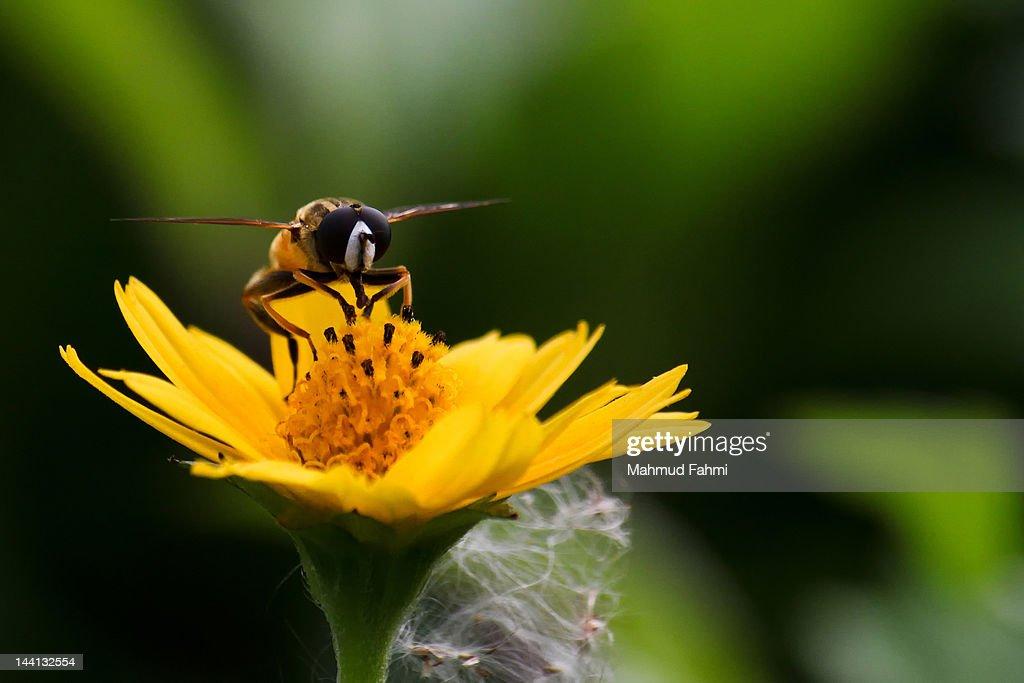 Honey bee sitting on yellow flower : Stock Photo