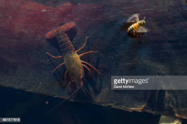 A honey bee takes flight from the threat of a red swamp crayfish at McCallum Grove pond a palm oasis on the San Andreas Fault created by water pushed...