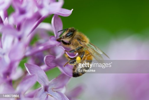 Honey Bee with a pollen basket necturing on Lilac : Stock Photo