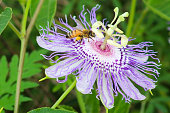 Honey bee pollinating passion flower while collecting nectar
