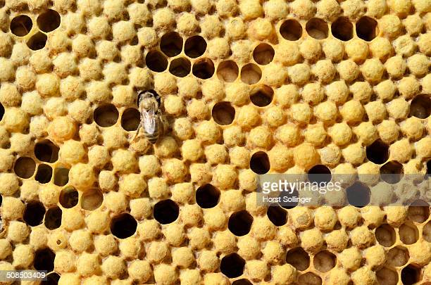 Honey bees -Apis mellifera var carnica-, brood comb with capped drone brood