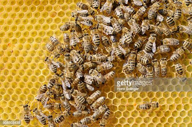 Honey bees -Apis mellifera var carnica-, worker bees in panic formation on a comb with eggs