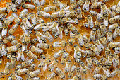 Honey bees -Apis mellifera-, worker bees caring for the brood, larvae, circa 8 days