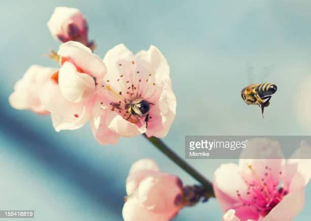 Le api da miele su un Fiore di pesco