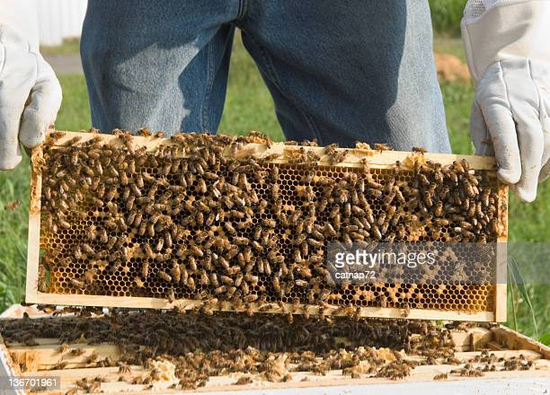 Honey Bees on Beehive Comb Lifted From Hive, Close Up