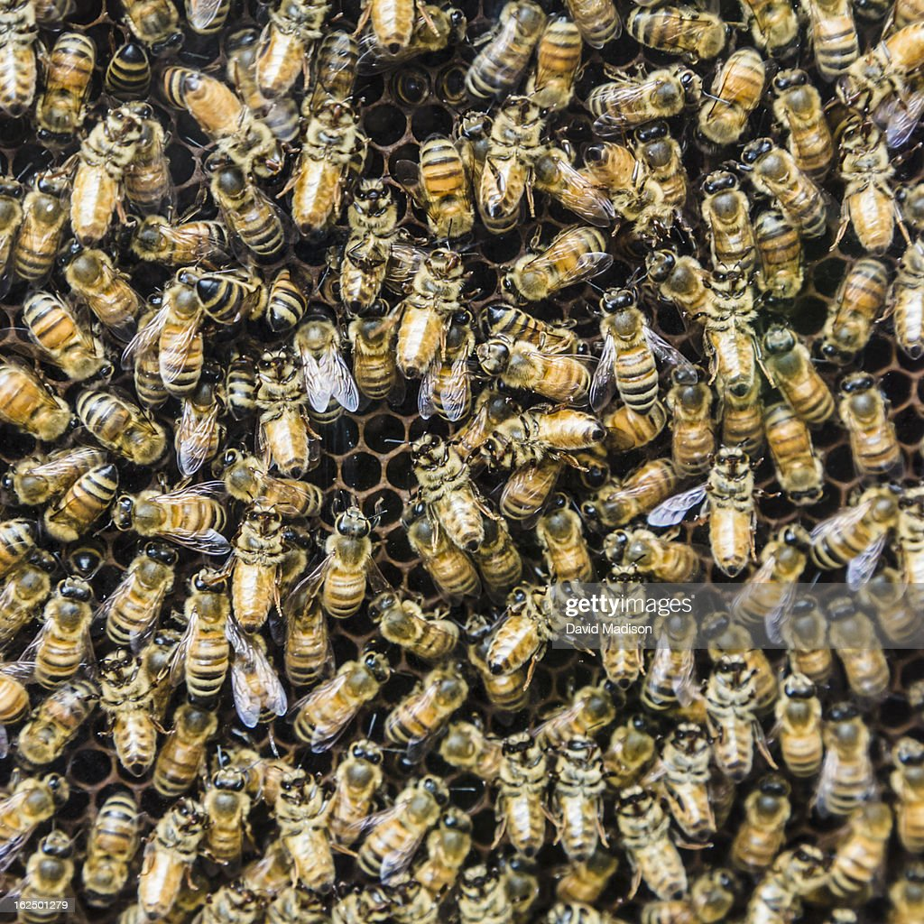 Honey bees on comb.