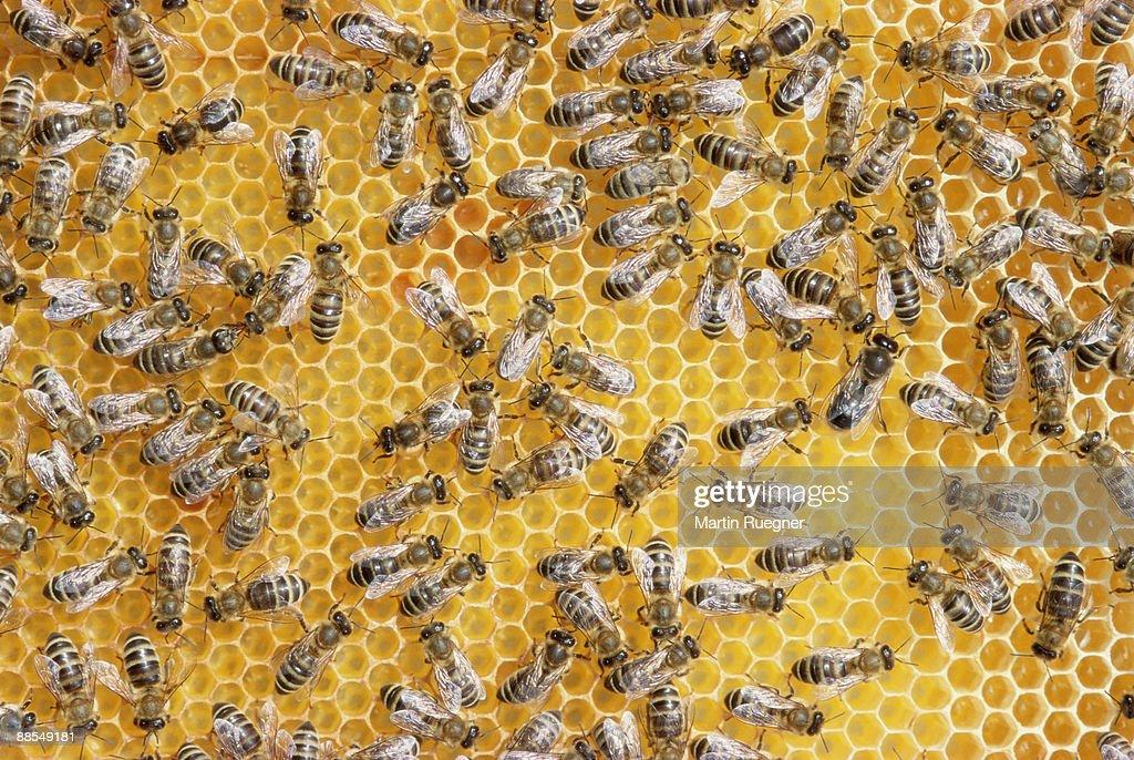 Honey bees on honeycomb : Stock Photo