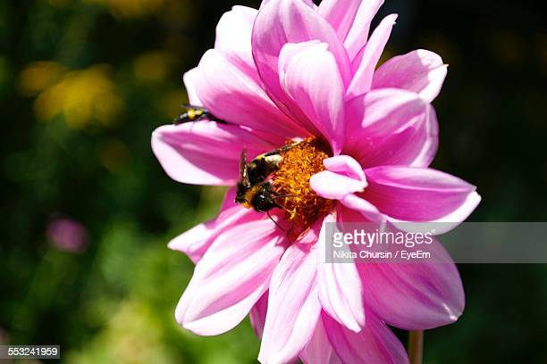 Honey Bees On Pink Flower In Park