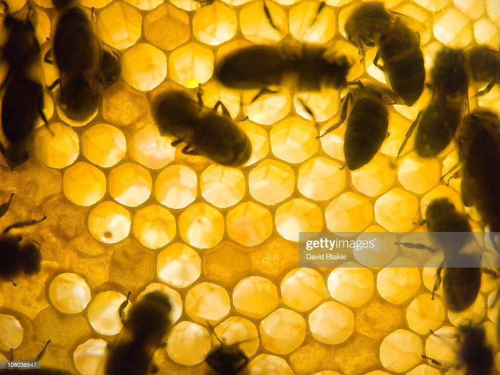 Honey Bees on the Comb : Stock Photo