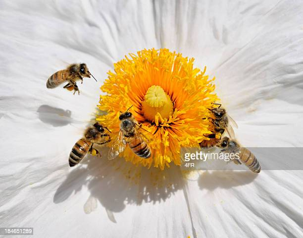Honey Bees pollinating a Wild Flower (Macro)