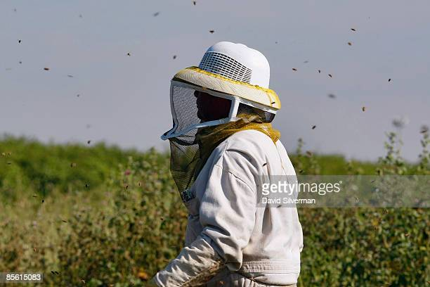 Honey bees swarm around Israeli beekeeper Shmuel Mor as he tends to his hives and prepares them to pollinate a citrus grove just coming into blossom...