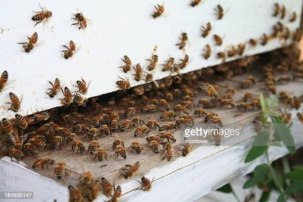 Le api da miele di lavoro