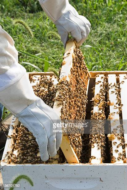 Honey Comb Being Lifted from Beehive Close Up