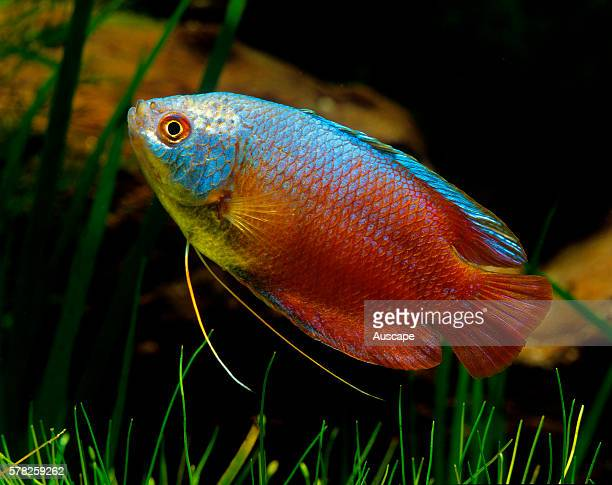 Honey gourami Trichogaster chuna freshwater aquarium fish that grows to 7 cm Originates from India and Bangladesh Aquarium