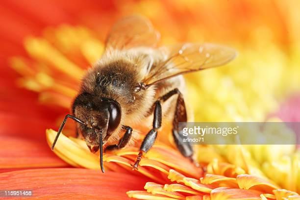 Honeybee and gerbera daisy 04