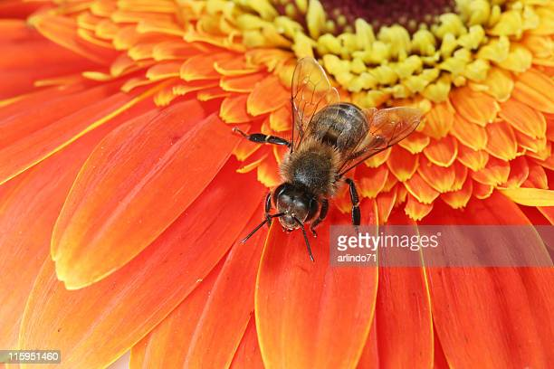 Honeybee and gerbera daisy 06