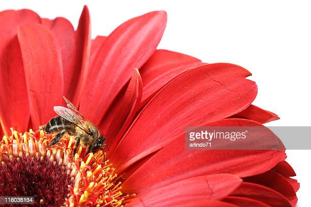 Honeybee et gerbera rouge 01