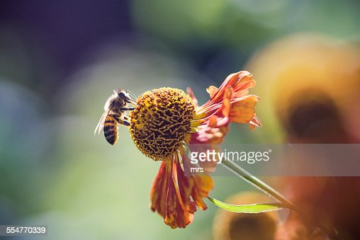 Honeybee collecting pollen from a flower.