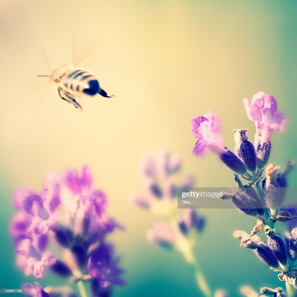 Honeybee flies to another flower : Stock Photo