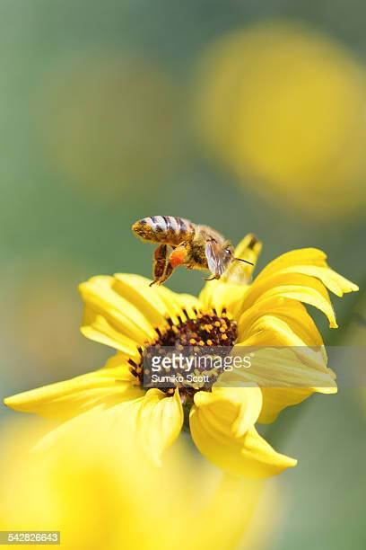 Honeybee flying to wild sunflower.