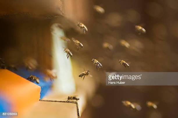 Honeybee hive (Apis Mellifera)