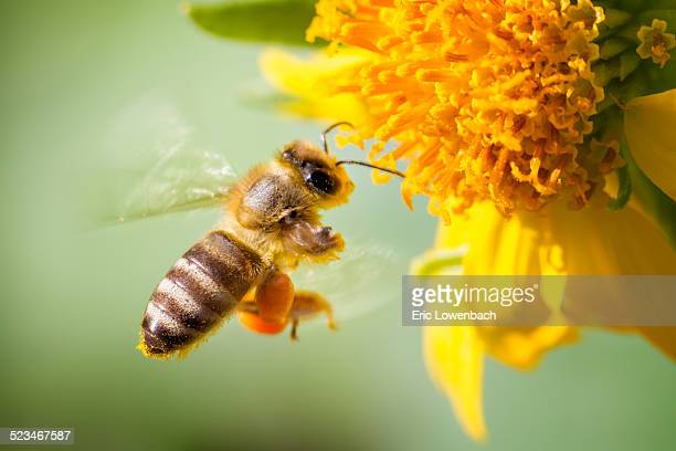 Honeybee in Flight at Flower