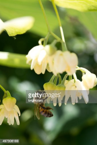 Honeybee on a linden flower