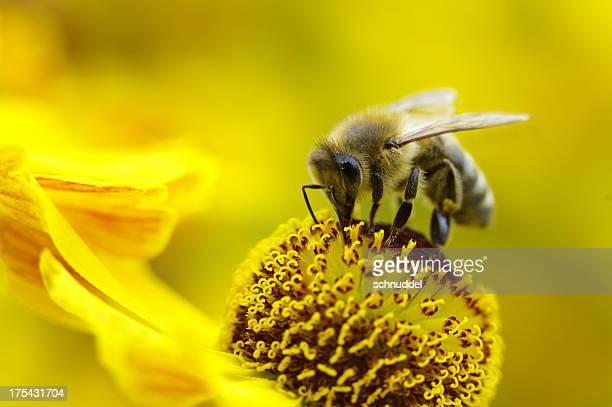 Honeybee sur un jaune sun mariée