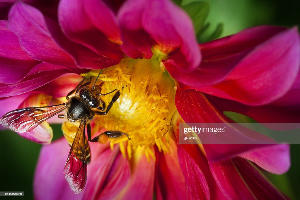 Honeybee on Dahlia flower is collecting pollen and nectar