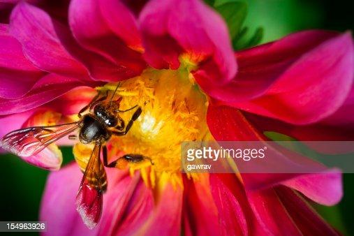 Honeybee en dalia flor es recopilar polen y nectar